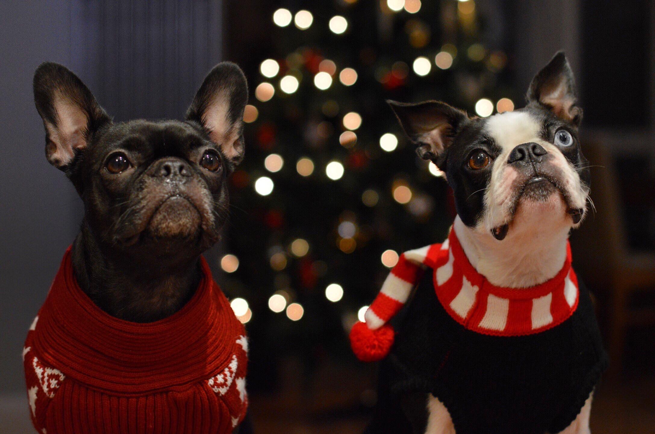 Chiens de Noël